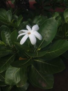 26. Tiare, the Polynesian sweet fragrant flower, were seen growing in countless places.  Men and women wore flowers in their hair and over their ears.
