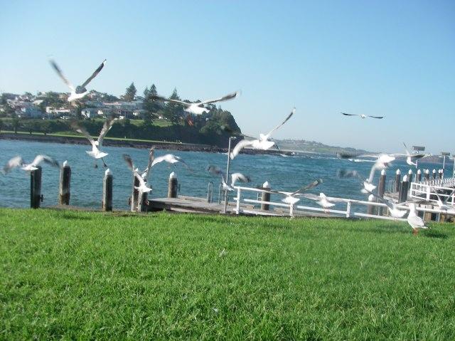 112.2. Flying seagulls at Garringong, Australia,