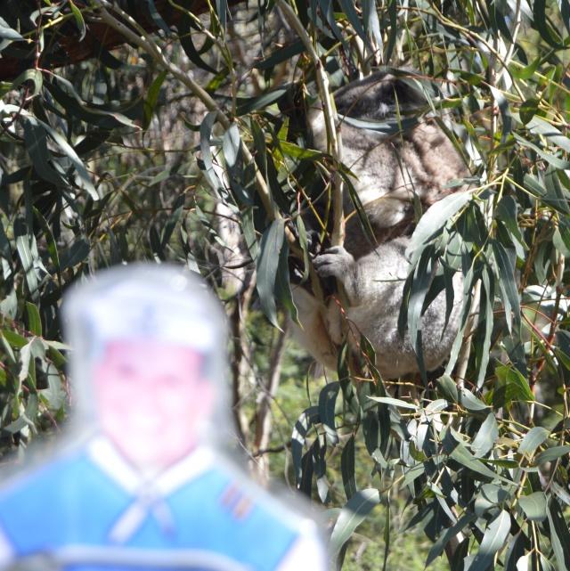 134.1. Flat Mr. Davis saw this very sleepy koala in a eucalyptus tree on Phillip Island, Australia, by the Bass Strait