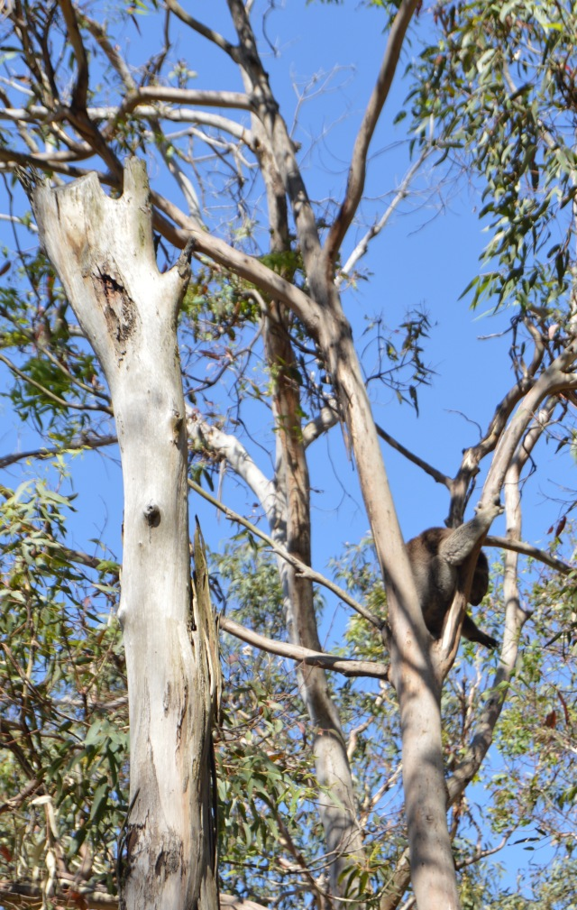 134.2. A koala woke up to find some eucalyptus leaves to eat.