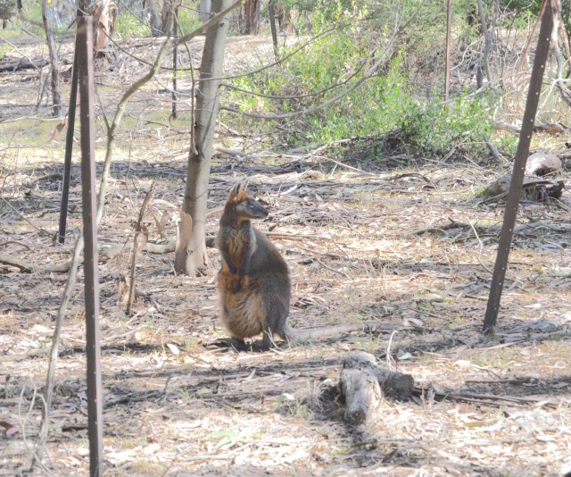 134.8. A wallaby with a joey enjoyed living at the koala naural preserve on Phillip Island on