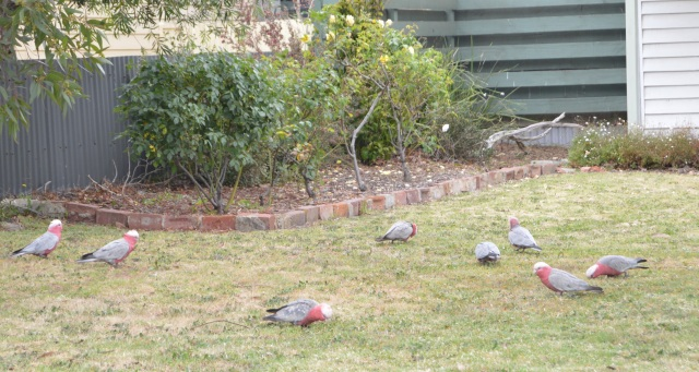 137.1. Wild gullahs were on a lawn in Wonthaggi, Victoria, Australia, December 2015