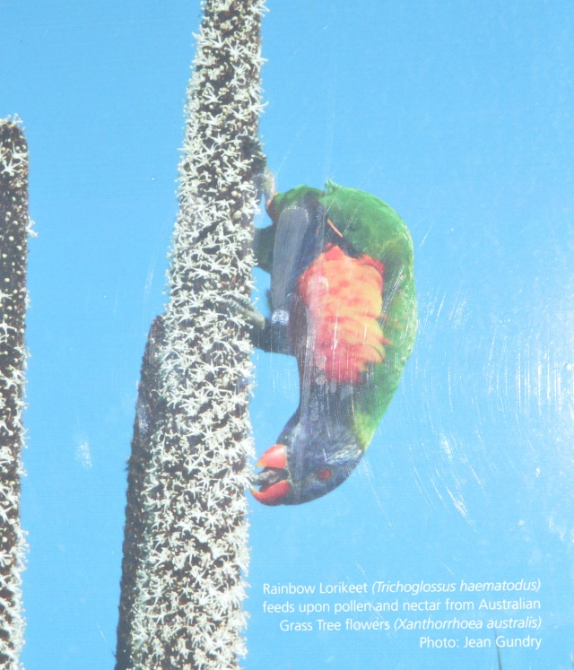 138. A sign explaining how rainbow lorikeets eat seeds from the grass tree