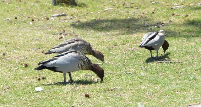 140. Some wild birds eat near the beach on the Bass Strait, Victoria, Australia, December 2015