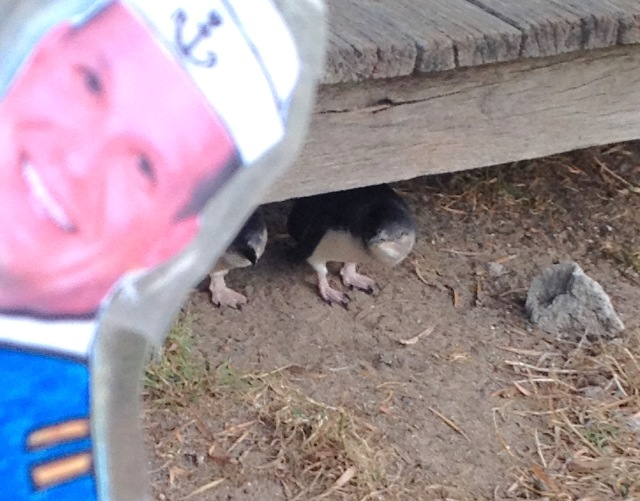 154. On the way to the beach, Flat Mr. Davis saw two baby Little Penguins under a boardwalk awaiting their parents to feed them on the Southwest coast of Phillip Island, December 2015