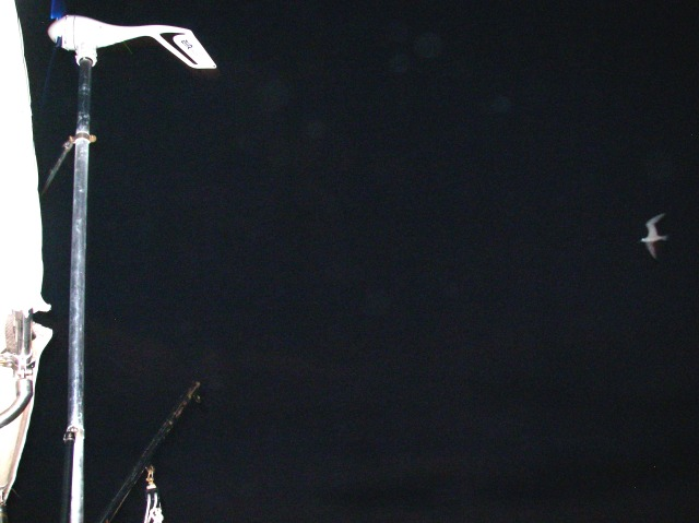 42. Birds - A sea bird circled Joyful during the night on the Tasman Sea on the way to Pittwater.