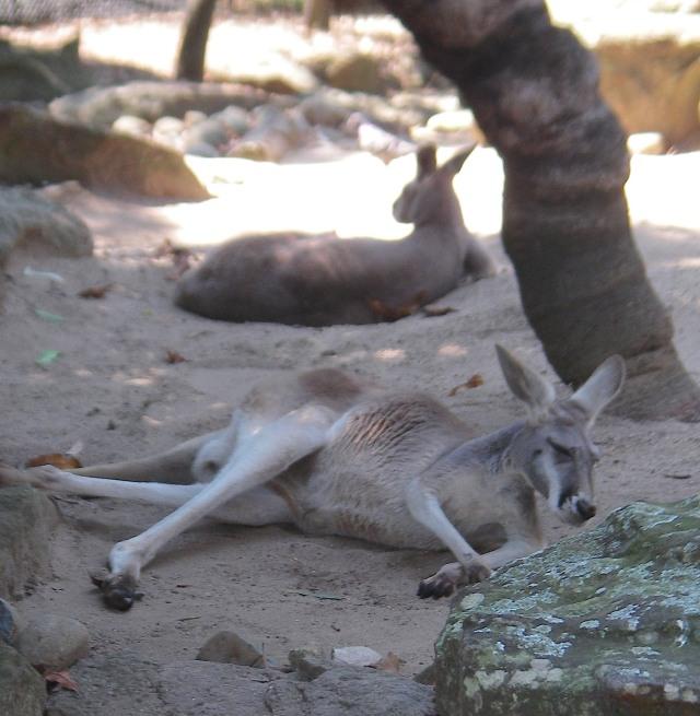 58.7. Kangaroos sleep lying down