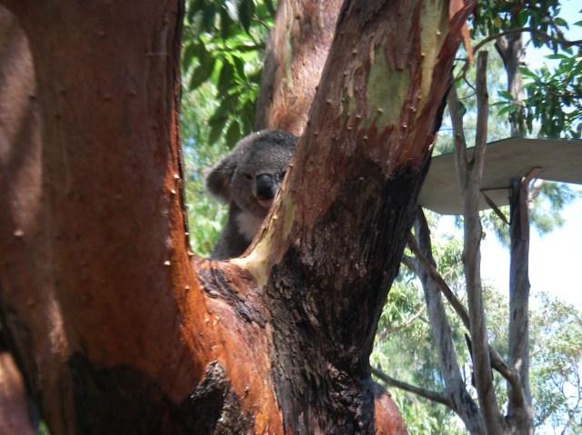 59.1. A koala waking up to eat some Eucalyptus leaves. Koalas sleep about 22 hours a day!