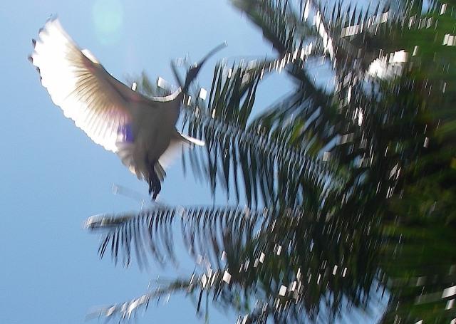 60.4. Birds - A wild ibis in Sydney, Australia tending its young still in their nest. November, 2015