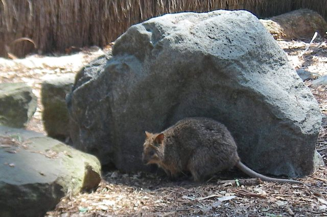 60. A shy potoroo, an Australian marcupial ponders the day